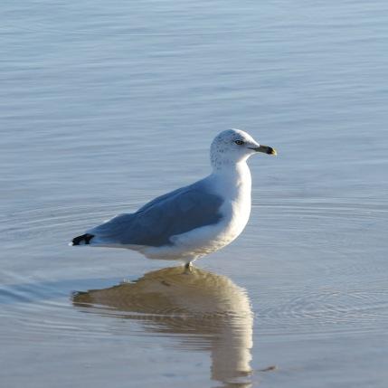 reflective seagull