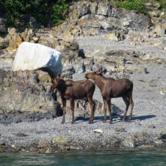moose on the shore