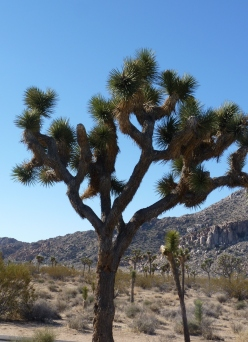 an old Joshua tree