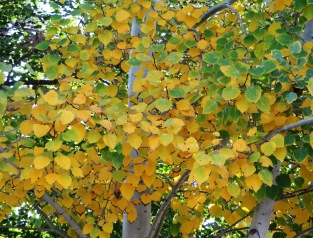 yellow aspen leaves