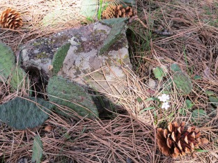 cactus under the pines