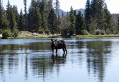 moose at Sprague Lake